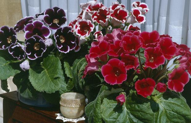 how to grow gloxinias indoors